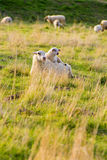 Sheep lying in the meadow Stock Images