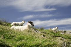 Sheep lying in scottish mountain grass Royalty Free Stock Photo