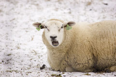 Sheep. A sheep lying in the snow Stock Photography