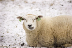 Sheep. A sheep lying in the snow Royalty Free Stock Image