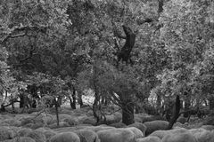 Sheep lying under the trees Stock Image