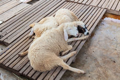 Sheep lying on wood Royalty Free Stock Images