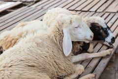Sheep lying on wood Royalty Free Stock Photography
