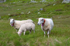 Sheep in Lysefjord Royalty Free Stock Images