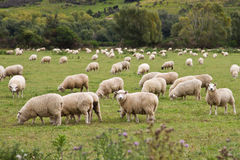Sheep in a maddow Stock Images