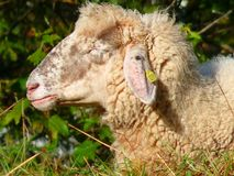 Sheep, Mammal, Fauna, Cow Goat Family Stock Images