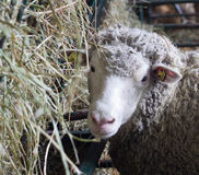 Sheep beside manger with hay Stock Photography