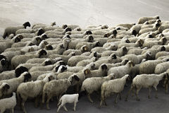 Sheep marching Stock Photo