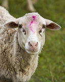 Sheep with mark on her head stock photography