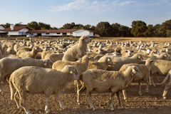 Sheep mating. In Ranch. Turkey Royalty Free Stock Photography