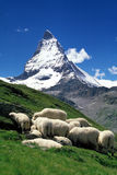 Sheep and Matterhorn. Sheep graze in a high alpine meadow, with the Matterhorn in the background Stock Photos