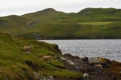 Sheep in Mavis Grind on Shetland Islands. Sheep next to the loch in Mavis Grind on Shetland Islands Stock Photo