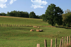 Sheep in a meadow. Sheep herd in a green country field Royalty Free Stock Images