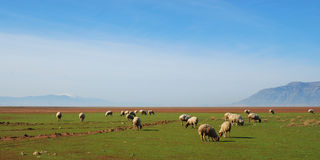SHEEP IN A MEADOW. Panorama of sheep grazing on a lush green pasture meadow, with glorious sky behind royalty free stock photo