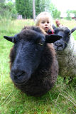 Sheep in meadow stock image