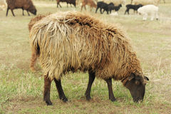 Sheep on a meadow Royalty Free Stock Photography
