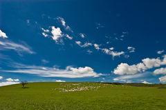 Sheep and meadow Stock Photography