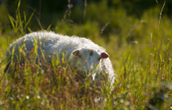 Sheep on a meadow Stock Image