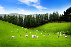 Sheep on meadow. With blue sky, New Zealand Stock Photos