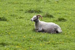 Sheep in a meadow Stock Photography