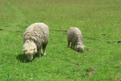 Sheep and meadow. Two sheep grazing in the green meadow Royalty Free Stock Images