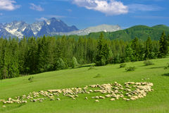 Sheep on meadow. A lot of sheep on green meadow with mountains in background Stock Images