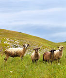Sheep on a meadow Stock Images