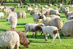 Sheep on meadow Royalty Free Stock Photo
