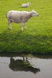Sheep in the meadow Stock Photos