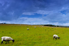 Sheep on meadow. Image was taken on July 2012 in Sussex. England Royalty Free Stock Photography
