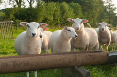 Sheep in a meadow Royalty Free Stock Photo