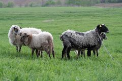 Sheep in meadow Royalty Free Stock Image
