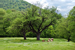 Sheep on the meadow Stock Photo