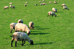 Sheep on the meadow. Photo of a lot of sheep on the green background Royalty Free Stock Photos