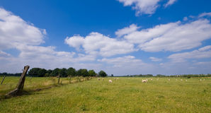 Sheep on meadow. Landscape with sheep on a rural meadow with blue cloudy sky Royalty Free Stock Photography