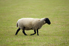 Sheep on a meadow Stock Photography