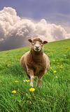 Sheep in a meadow. Single sheep in a green meadow Stock Photography
