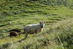 Sheep on meadow in Alps in Switzerland Royalty Free Stock Images