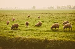 Sheep at the meadow Stock Image