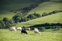 Sheep on the meadow Stock Images