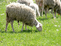 Sheep in the meadow. A close up of a sheep flock grazing on a meadow Stock Image