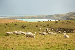Sheep in the meadow eating grass Royalty Free Stock Photos
