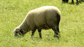 Sheep on a meadow stock video
