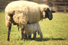 Sheep in a meadow. Feeding baby sheep. Stock Image