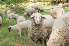 Sheep on meadow. Fence. Sheeps on green sommer meadow. Farming outdoor. Fence Royalty Free Stock Image