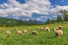 Free Sheep Meadow Flowers Mountains Graze Royalty Free Stock Image - 121543606