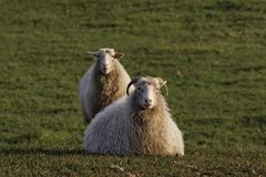 Sheep on a meadow in Germany Royalty Free Stock Photo