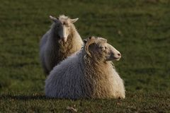 Sheep on a meadow in Germany Stock Photography