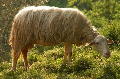 Sheep In Meadow Royalty Free Stock Photography