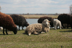 Sheep on the meadow Stock Image